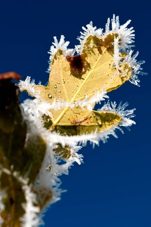 Hoarfrost on leaves. The sky is beaming blue.