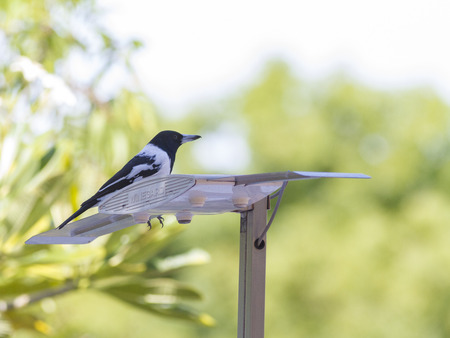 A peaceful black bell magpie standing on a pole Editorial
