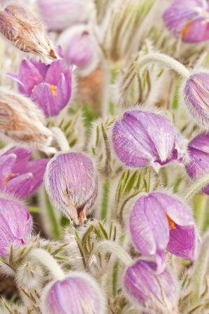 Pasque flowers close up.