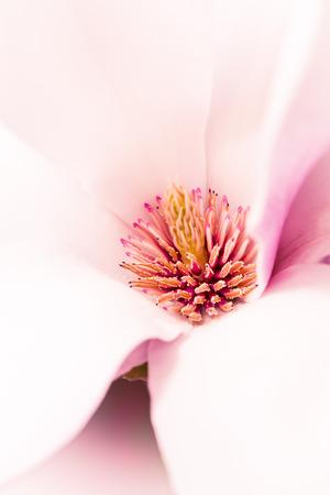 objec: Magnolia flower blossom, macro view,