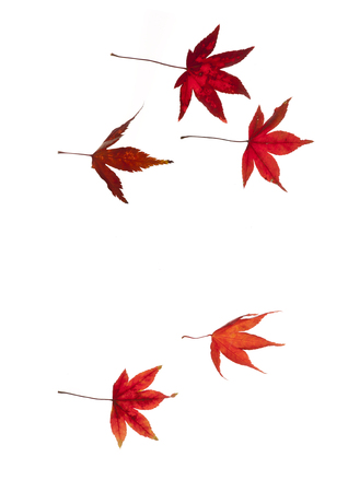 caida libre: Maple autumn leaves flying  on white background.