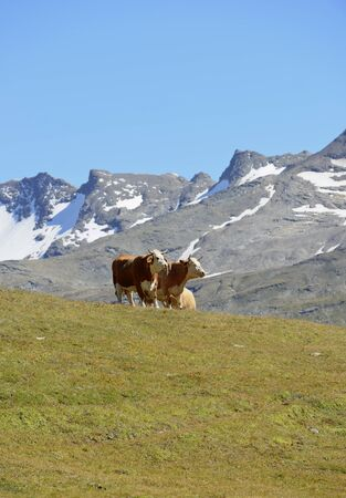 Alpine cow on a pasture in the mountains