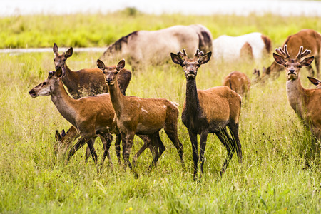 Herd of deer in the wet meadow Stock Photo