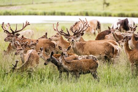 Herd of deers in wet meadow Stock Photo