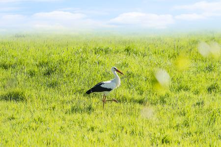 White stork walking on green meadow.