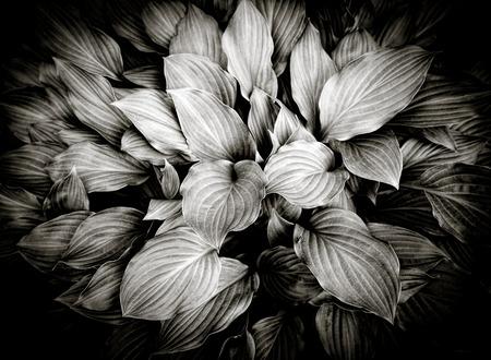 hosta: Hosta, hosta background - black and white.
