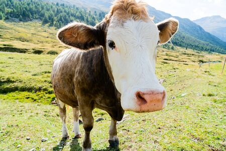 Big head of a Swiss cow against the backdrop of the Alps.
