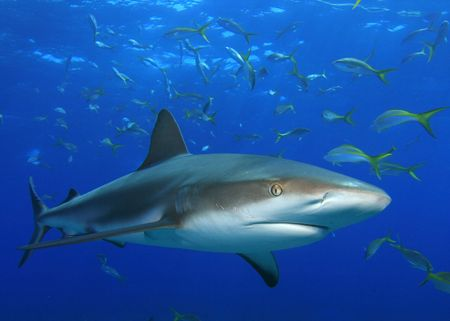 sharks: Shark and snappers Stock Photo