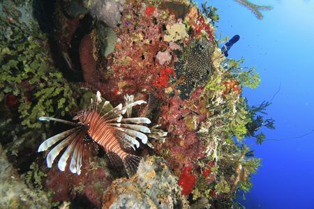 turkeyfish: Lionfish on coral reef