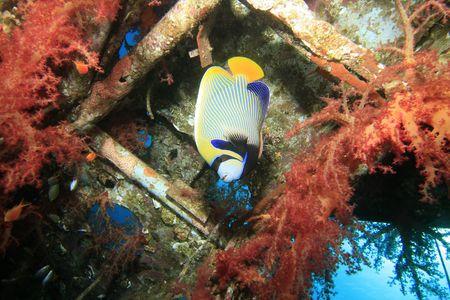 pomacanthus imperator: Imperatore Angelfish