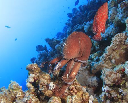 cernia: Big Red Octopus Raggruppatore e Corallo