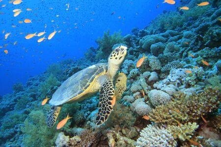 anthia: Hawksbill Turtle