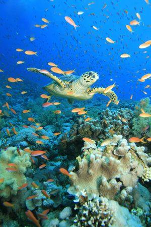 Turtle and Anthias Stock Photo