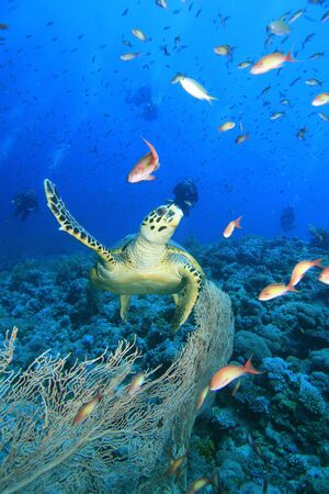 Turtle with scuba divers in background