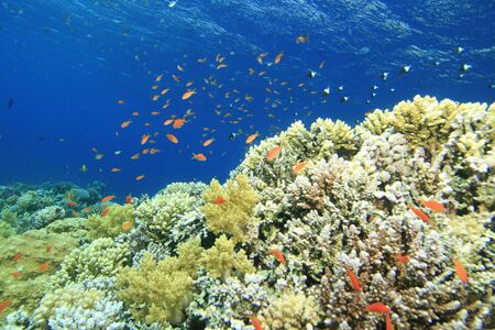anthia: Beautiful Coral Reef at the Blue Hole in Egypt