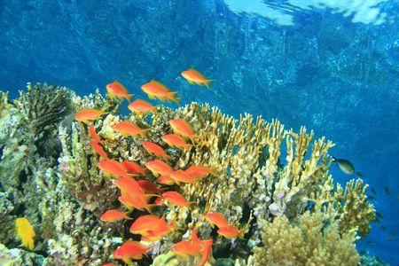 basslet: Peces tropicales de un arrecife de coral Foto de archivo