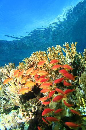 Jewell Fairy Basslets on a coral reef