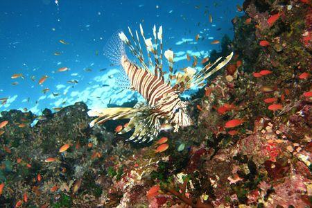 anthia: Lionfish on coral reef