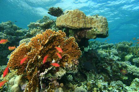 pristine coral reef: Coralline incontaminate del Mar Rosso