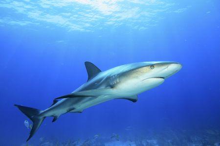 青い水の中のカリブ海リーフ サメ