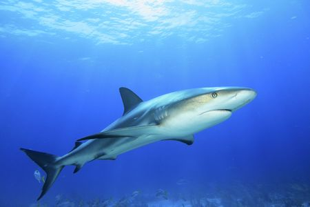 Caribbean Reef Shark in blauw water