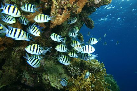 A shoal of Sergeant Major Fishes Stock Photo - 4074652