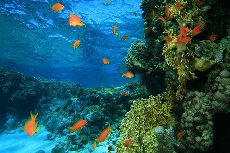 basslet: Coral Laguna Foto de archivo