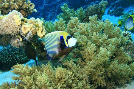 basslet: Emperador Angelfish Foto de archivo