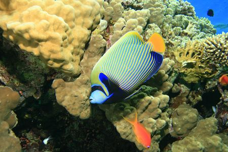 anthia: Emperor Angelfish Stock Photo
