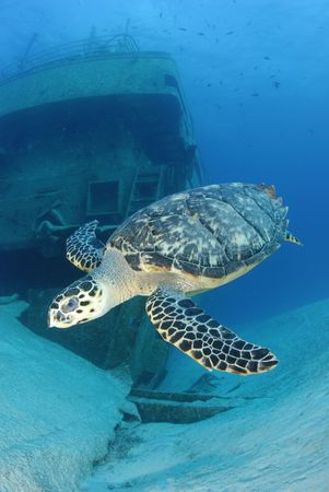 Hawksbill Turtle and Shipwreck photo