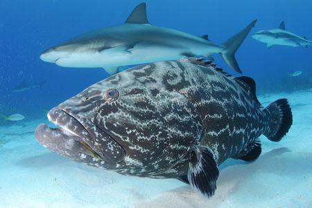Caribbean Reef Shark and Black Grouper
