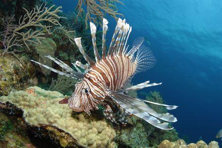volitans: Lionfish