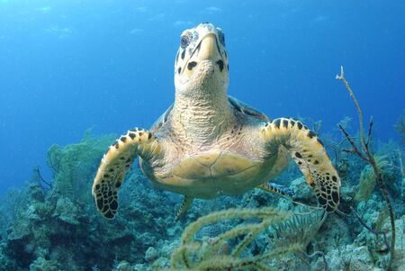 Hawksbill Turtle Stock Photo - 4454463