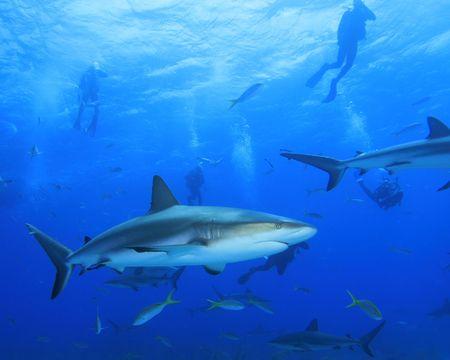 shark fin: Caribbean Reef Shark and Scuba Divers