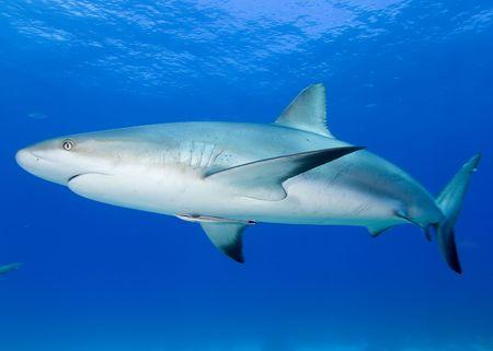 white shark: Caribbean Reef Shark