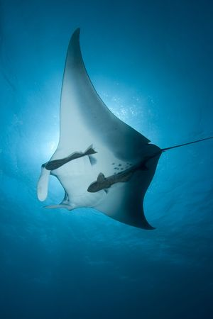 Manta Ray Stock Photo - 4924112