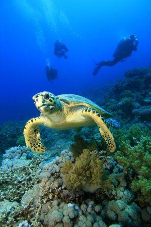 schildkr�te: Hawksbill Turtle mit Scuba Divers silhouetted im Hintergrund Lizenzfreie Bilder