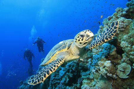 Hawksbill Turtle with Scuba Divers silhouetted in background photo
