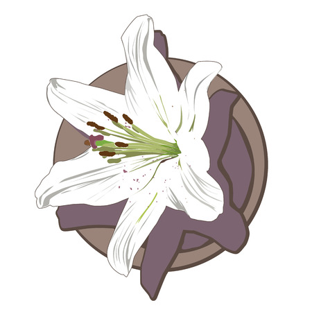 white lily: White lily clip art isolated on white