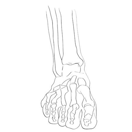 metatarsal: illustration of the foot bones isolated on white, artistic anatomy graphic study