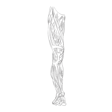 illustration of the leg muscles isolated on white, artistic anatomy graphic study