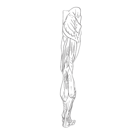 tarsal: illustration of the leg muscles isolated on white, artistic anatomy graphic study