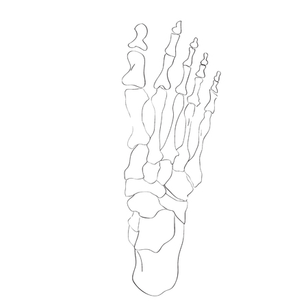 tarsal: illustration of the foot bones isolated on white, artistic anatomy graphic study