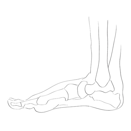 illustration of the foot bones isolated on white, artistic anatomy graphic study