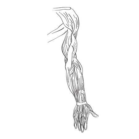 Illustration Of The Arm Muscles Artistic Anatomy Graphic Study
