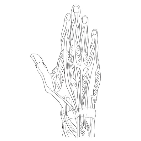 Sketch illustration of the hand muscles isolated on white, artistic anatomy graphic study