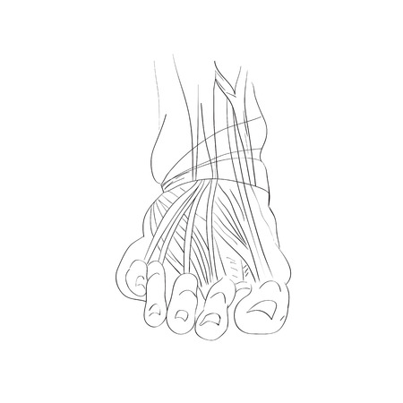 illustration of the foot muscles isolated on white, artistic anatomy graphic study