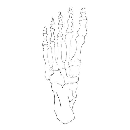 calcaneus: illustration of the foot bones isolated on white, artistic anatomy graphic study