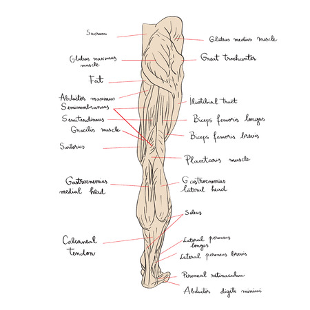 Hand drawn illustration of the leg muscles isolated on white, artistic anatomy graphic study