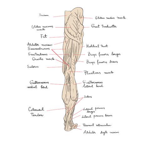 Hand getrokken illustratie van de beenspieren die op witte, artistieke anatomie grafische studie worden geïsoleerd Stock Illustratie